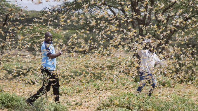 U istočnoj Africi najveća najezda skakavaca u poslednjih 25 godina 1