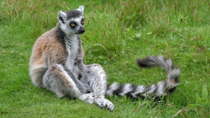 Promena klime preti opstanku jednog od simbola Madagaskara 1